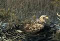 Гнездо орлана-белохвоста в Эстонии