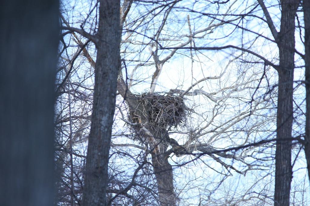 Гнездо орлана