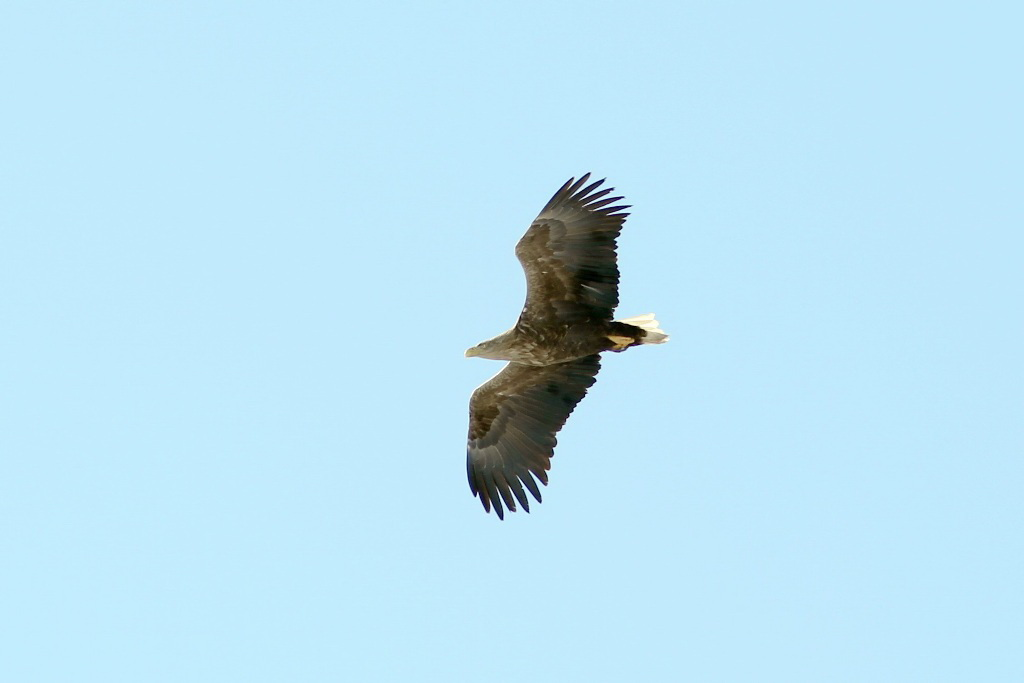 Орлан-белохвост - птица 2013 года