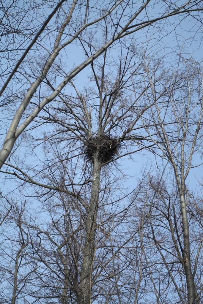 Гнездо орлана. Фото М. Корепова