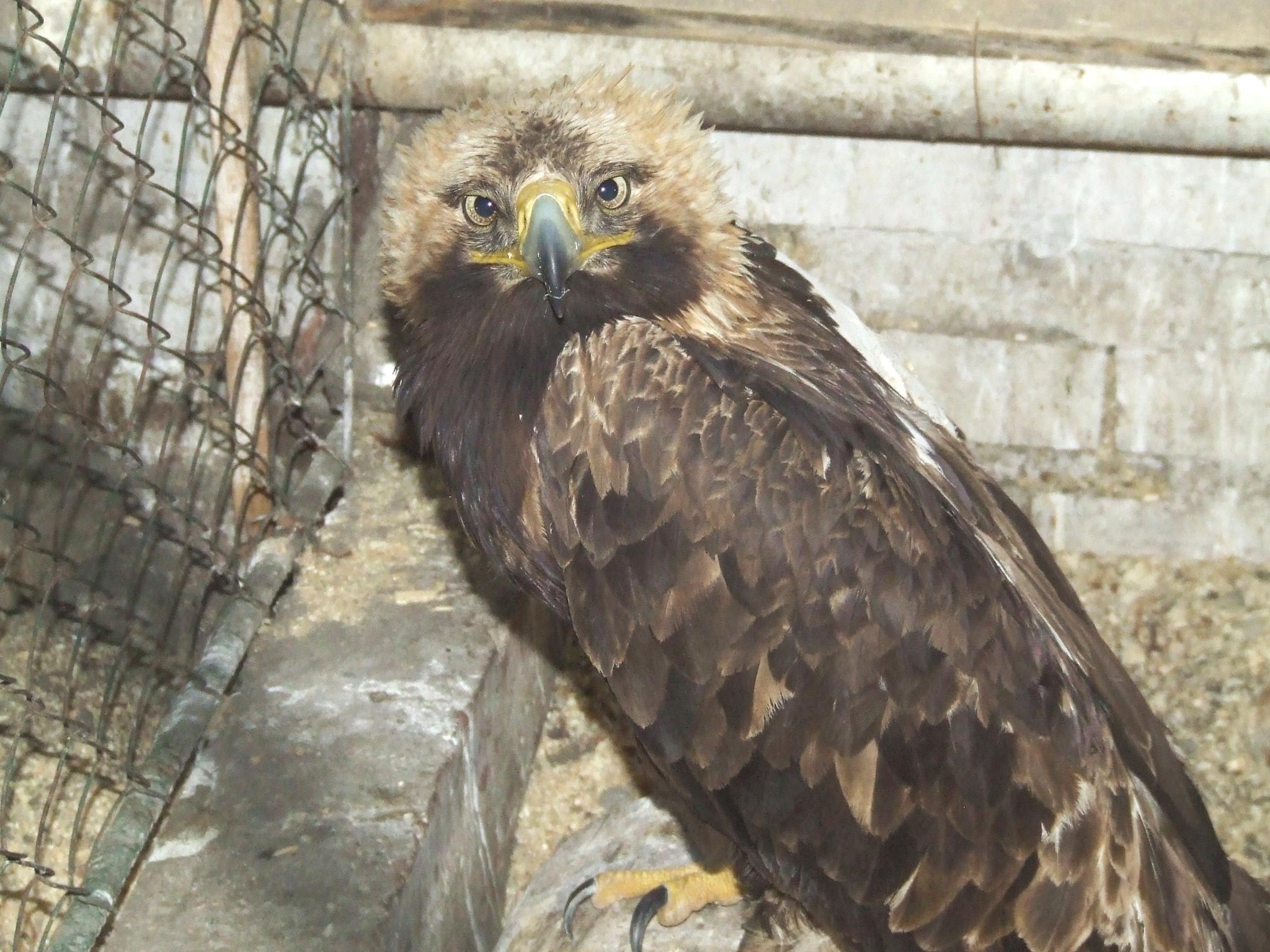 Раненый орёл-могильник, поступивший 1 апреля 2013 г. в Симбирский центр спасения диких птиц, после операции. Фото Г. Пилюгиной