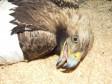 Раненый орёл-могильник, поступивший 1 апреля 2013 г. в Симбирский центр спасения диких птиц. Фото Г. Пилюгиной