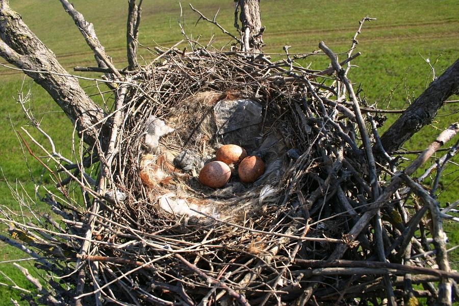 Гнездо с кладкой в котором отложилась Тея (Thea)
