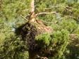 Самка большого подорлика на гнезде в Завьяловском заказнике. Фото И. Карякина
