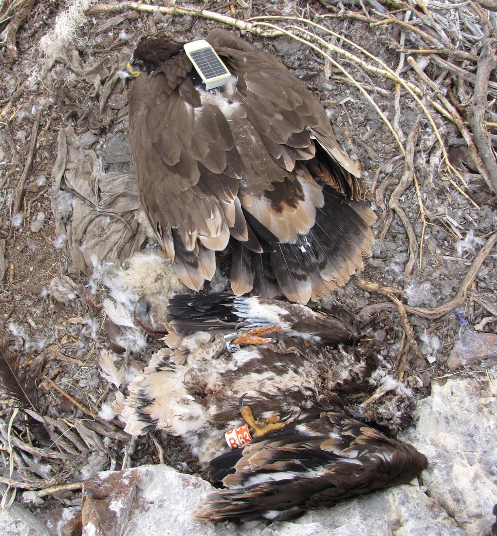 Чаган на гнезде уже один - брат погиб от голода. Фото И. Карякина