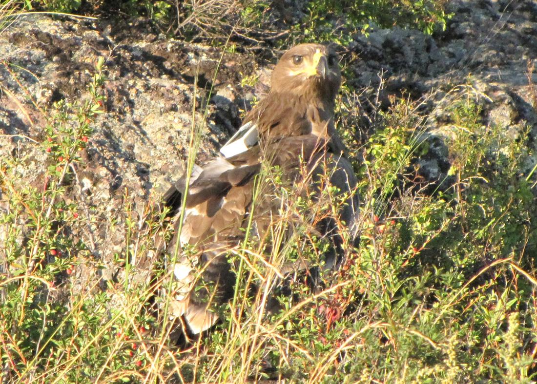 Степной орёл по имени Дуся. Фото А. Барашковой