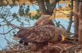 Веб-камера на гнезде орлана-белохвоста в Норвегии