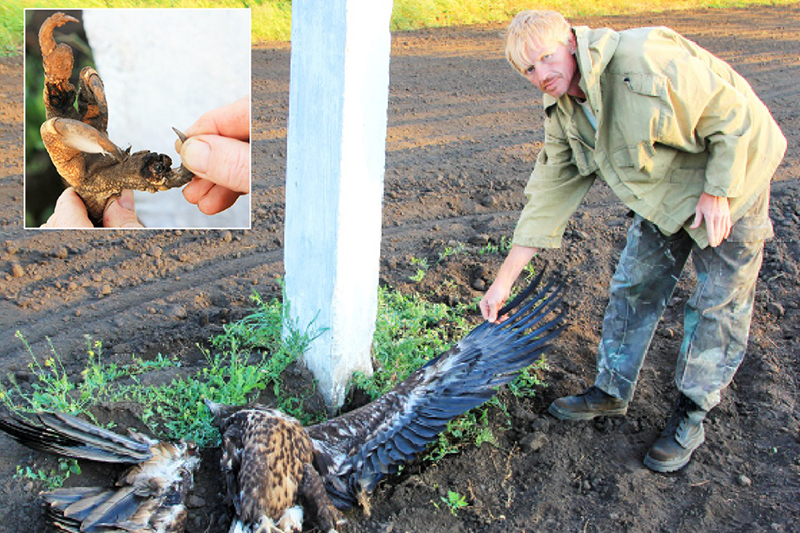 Гибель хищных птиц на ЛЭП – одна из наиболее острых проблем орнитологии во всей России