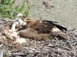 Самка степного орла на гнезде. Фото А. Барашковой