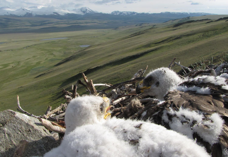 Птенцы степного орла в гнезде на Укоке. Июль 2009 г. Фото И. Карякина