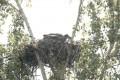 Птенец могильника в гнезде на платформе