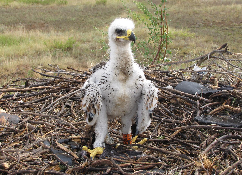 Птенец степного орла, окольцованный в Актюбинской области Казахстана. Фото И. Карякина