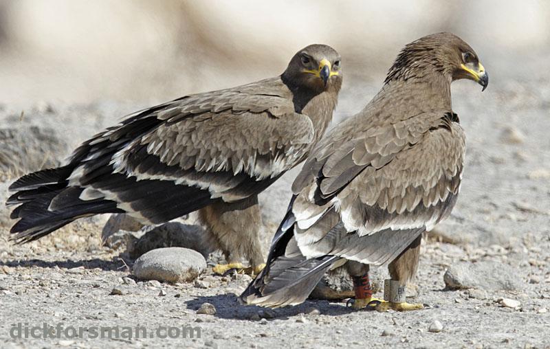 Степной орёл из Актюбинской области Казахстана в Омане на зимовке. Фото Д. Форсмана