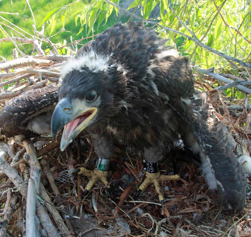 Птенец орлана-белохвоста на гнезде HA-TAT71-2. Фото Р. Бекмансурова