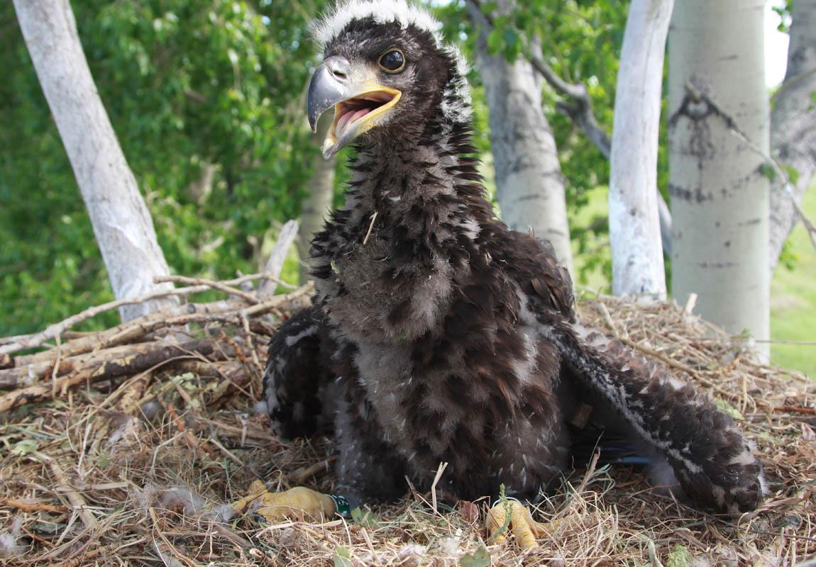 Птенец орлана-белохвоста в гнезде HA-TAT77-1. Фото Р. Бекмансурова
