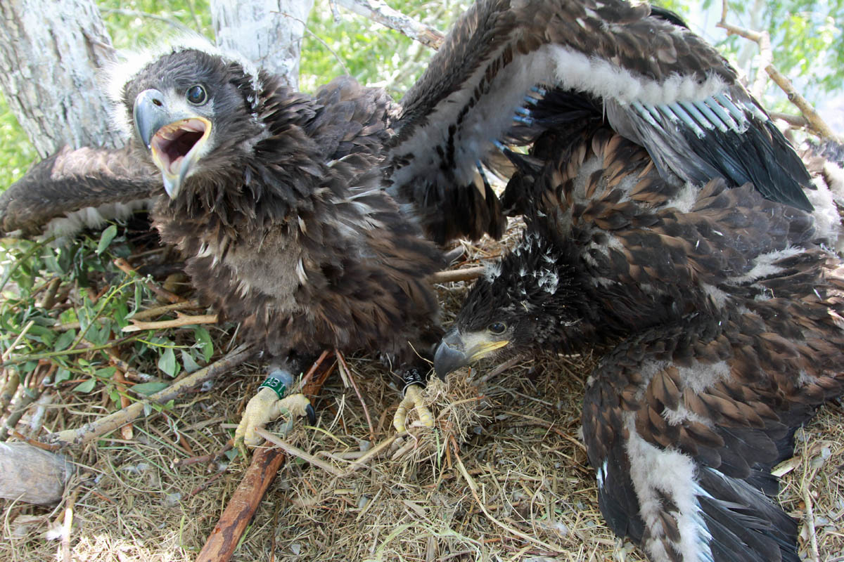 Птенцы орлана-белохвоста в гнезде HA-TAT78-1. Фото Р. Бекмансурова