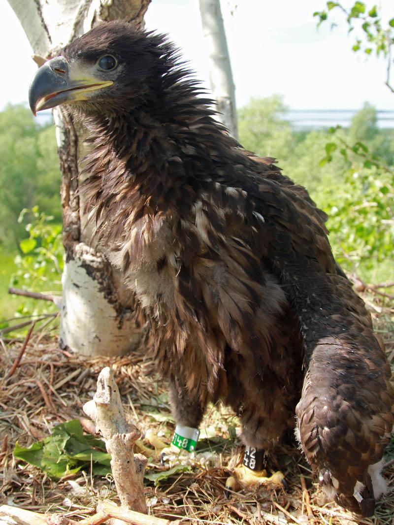 Птенец орлана-белохвоста в гнезде HA-TAT118-1. Фото Р. Бекмансурова