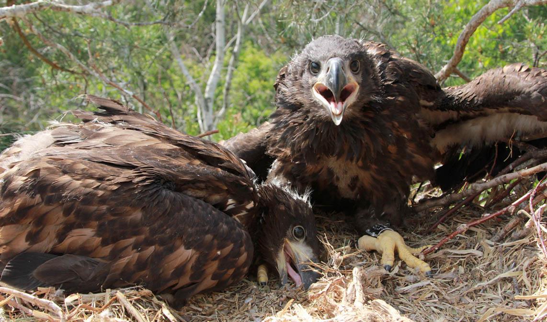 Птенцы орлана-белохвоста на гнезде HA-TAT35-1. Фото Р. Бекмансурова