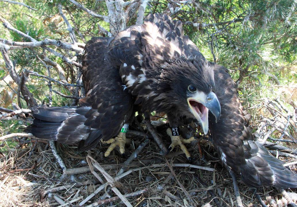 Птенец орлана-белохвоста в гнезде HA-TAT66-1. Фото Р. Бекмансурова