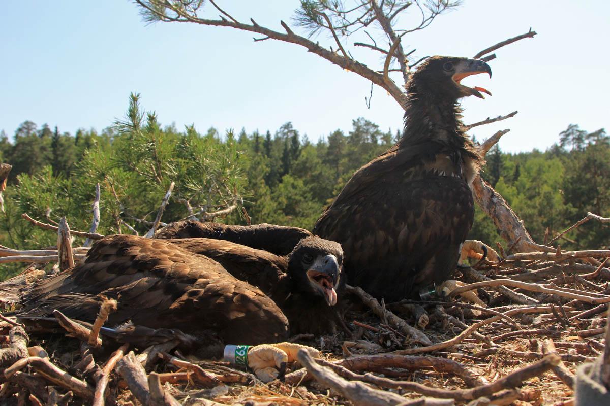 Птенцы орлана-белохвоста в гнезде HA-TAT82-1. Фото Р. Бекмансурова