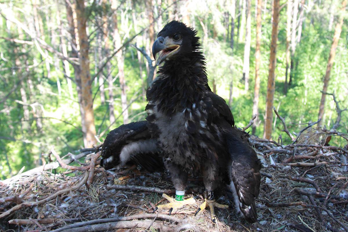 Птенец орлана-белохвоста в гнезде HA-TAT13-1. Фото Р. Бекмансурова