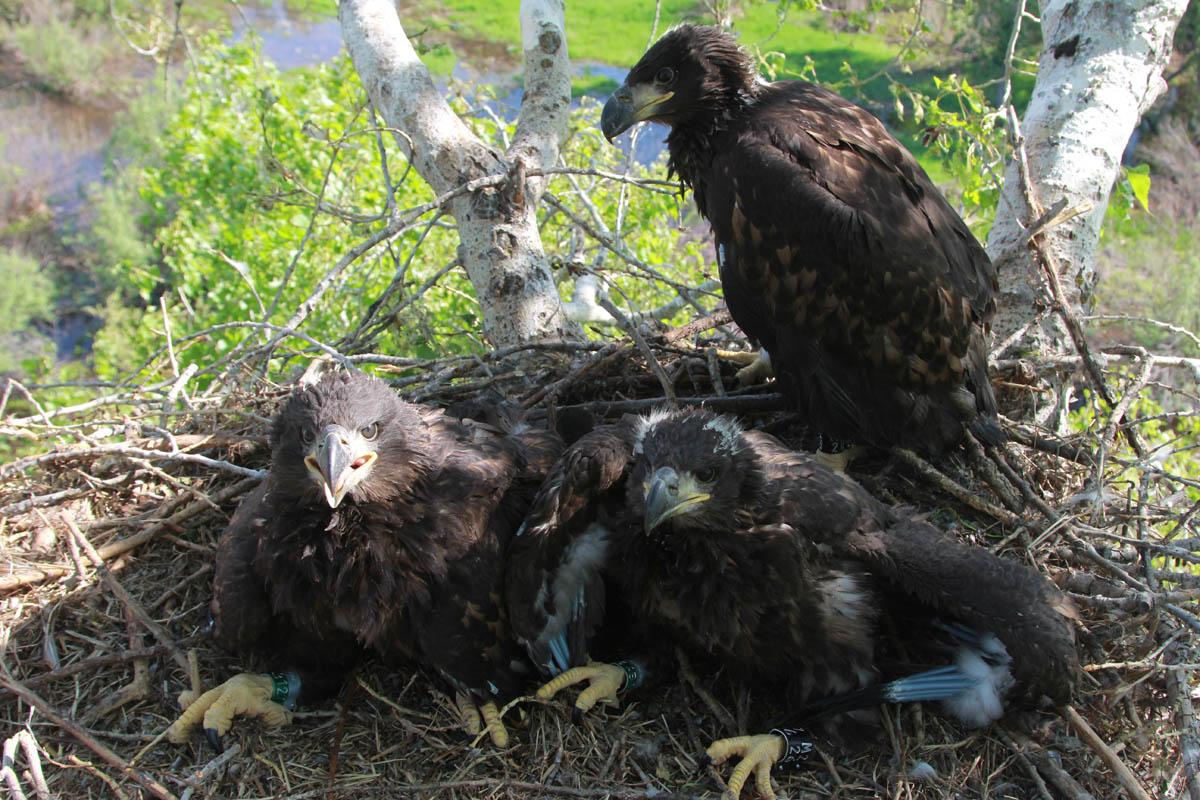 Птенцы орлана-белохвоста на гнезде HA-TAT55-3. Фото Р. Бекмансурова