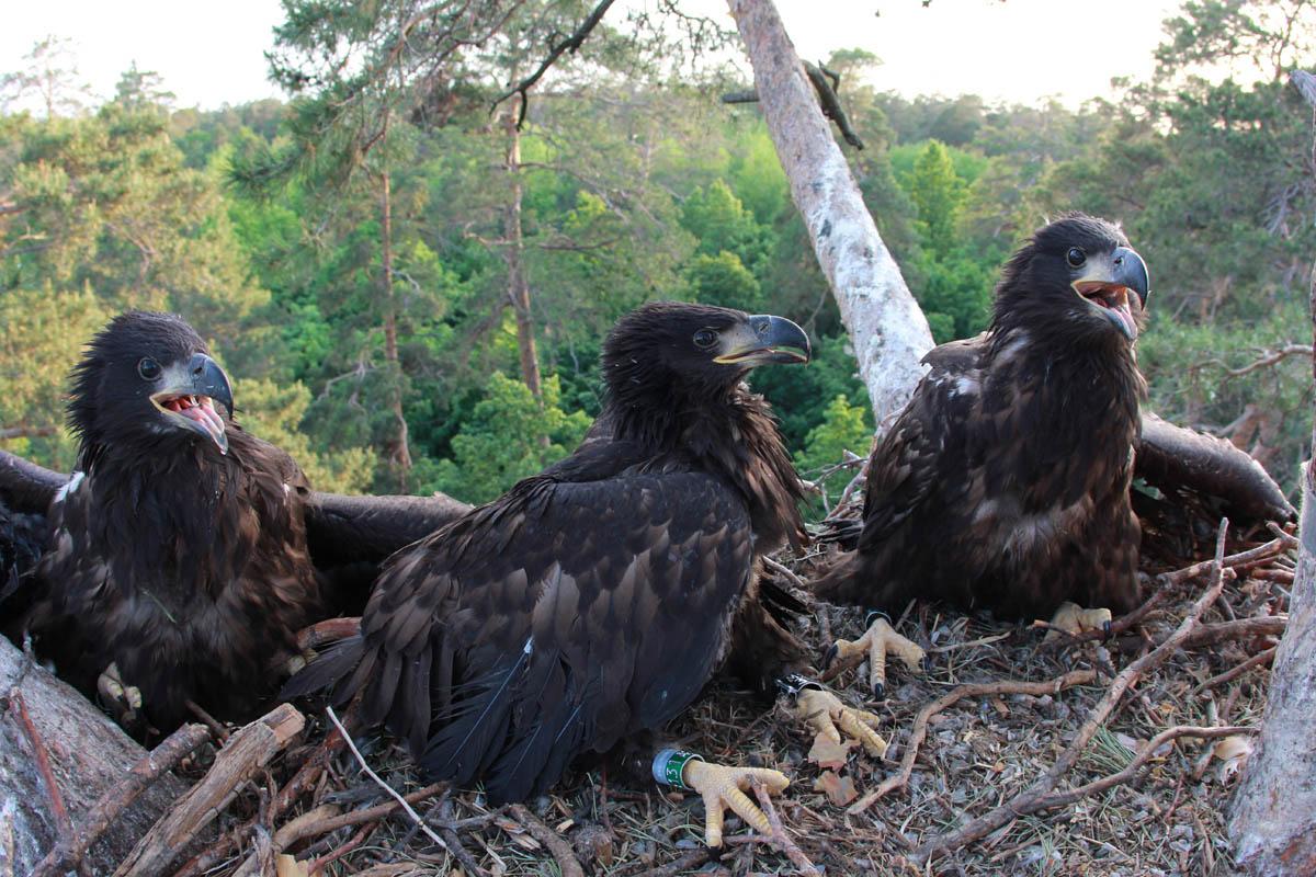Птенцы орлана-белохвоста на гнезде HA-TAT90-1. Фото Р. Бекмансурова