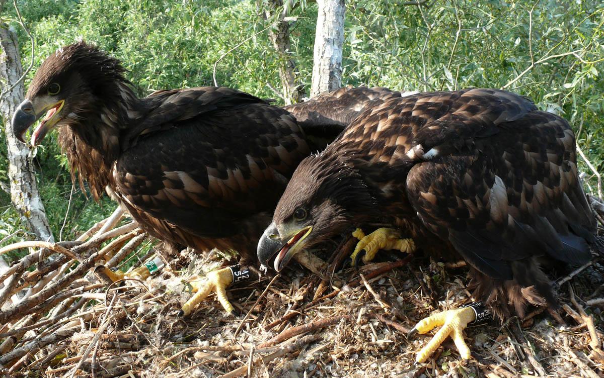 Птенцы орлана-белохвоста в гнезде HA-TAT115-1. Фото Р. Бекмансурова