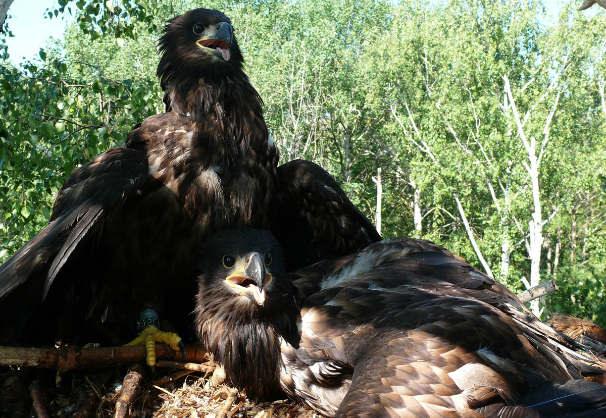 Птенцы орлана-белохвоста в гнезде HA-CHV1-1. Фото Р. Бекмансурова