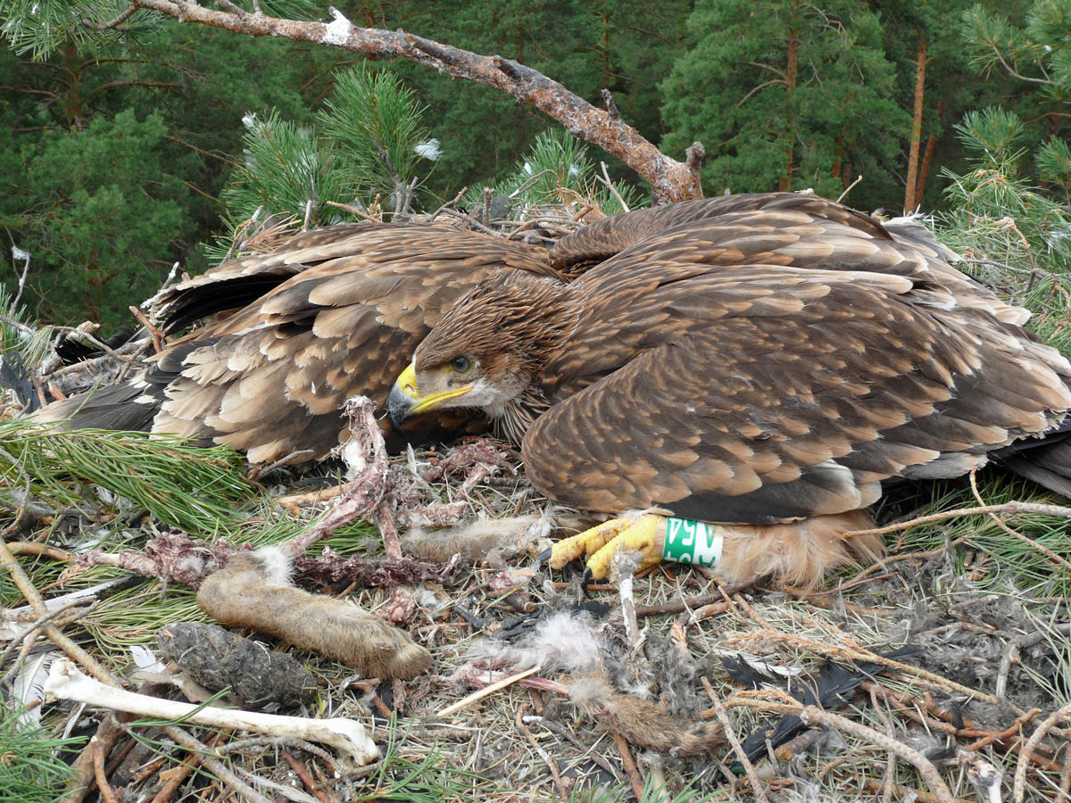 Птенцы солнечного орла в гнезде AH-TAT75-1. Фото Р. Бекмансурова
