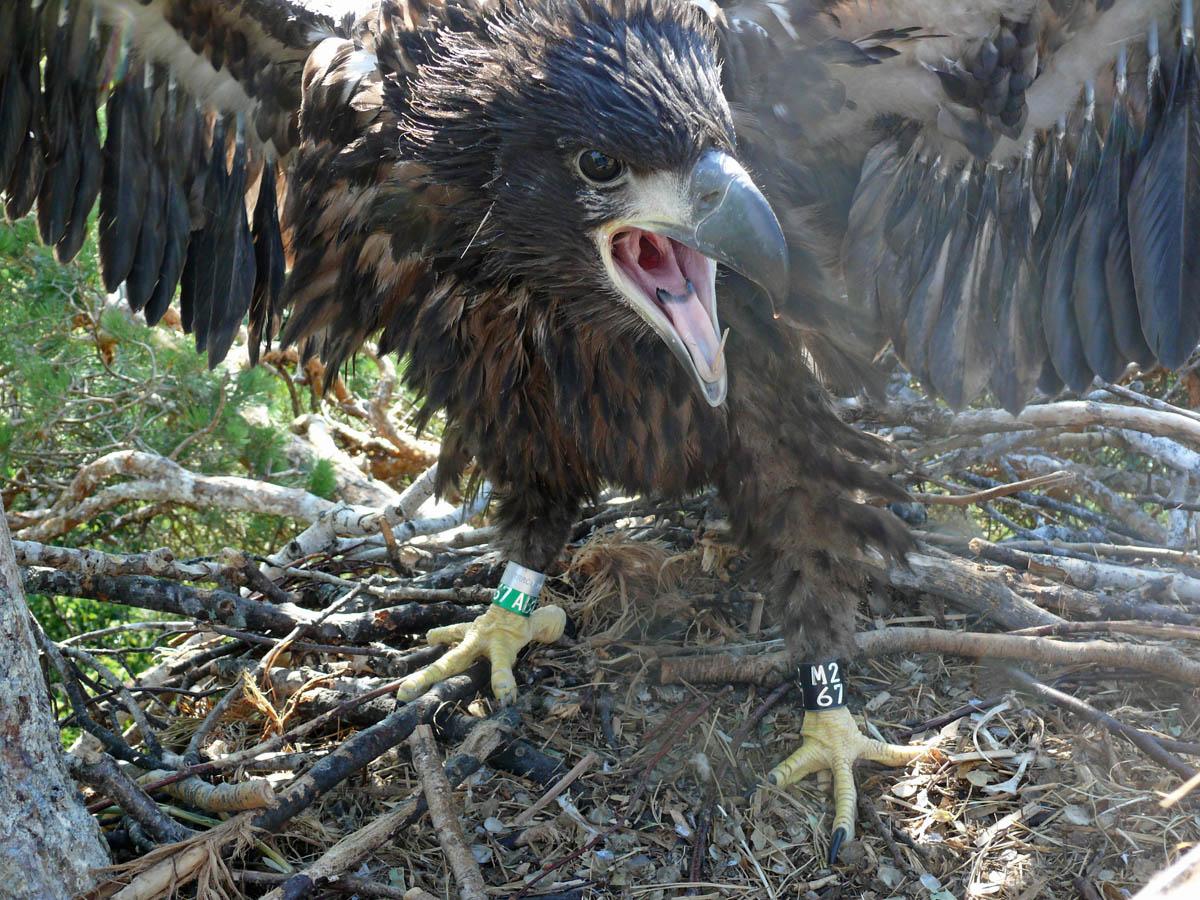 Птенец орлана-белохвоста в гнезде HA-TAT100-1. Фото Р. Бекмансурова