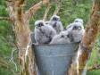 Птенцы дербника в искусственном гнезде. Фото из презентации В.В. Ивановского