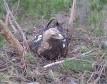 Вебкамера на гнезде орла-могильника в Ульяновской области