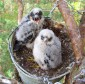 Птенцы чеглока в искусственном гнездовье