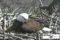 Веб-камера на гнезде белоголового орлана в штате Айова