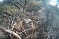 Вебкамера на гнезде белоголового орлана в Калифорнии