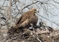 Степной орёл на гнезде. Фото И. Карякина