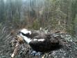 Вебкамера на гнезде скопы в Эстонии