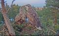 Вебкамера на гнезде орлана-белохвоста в Эстонии