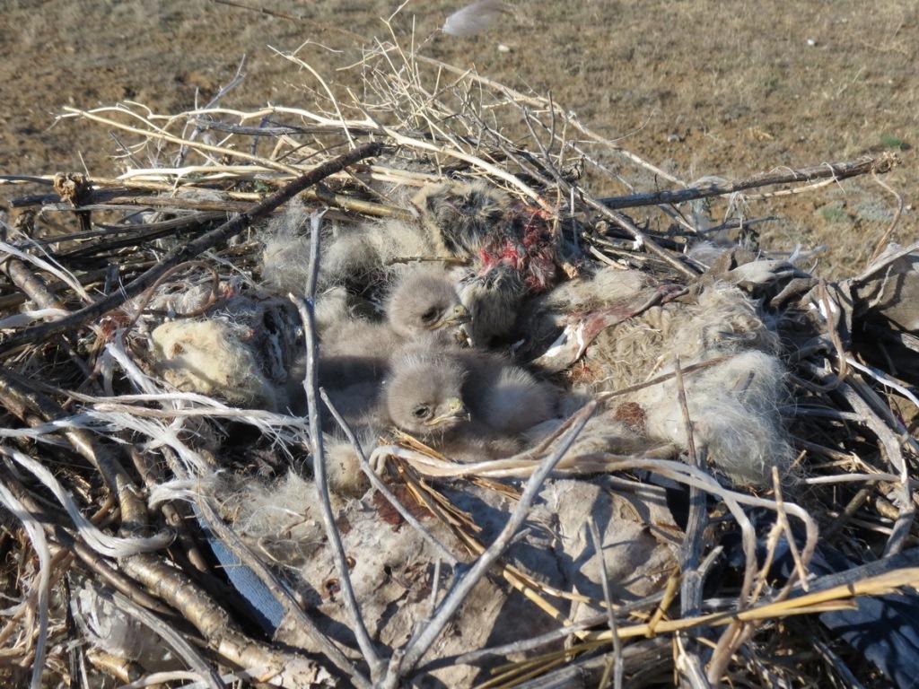 Птенцы мохноногого курганника в гнезде на платформе. Фото Н. Донгак