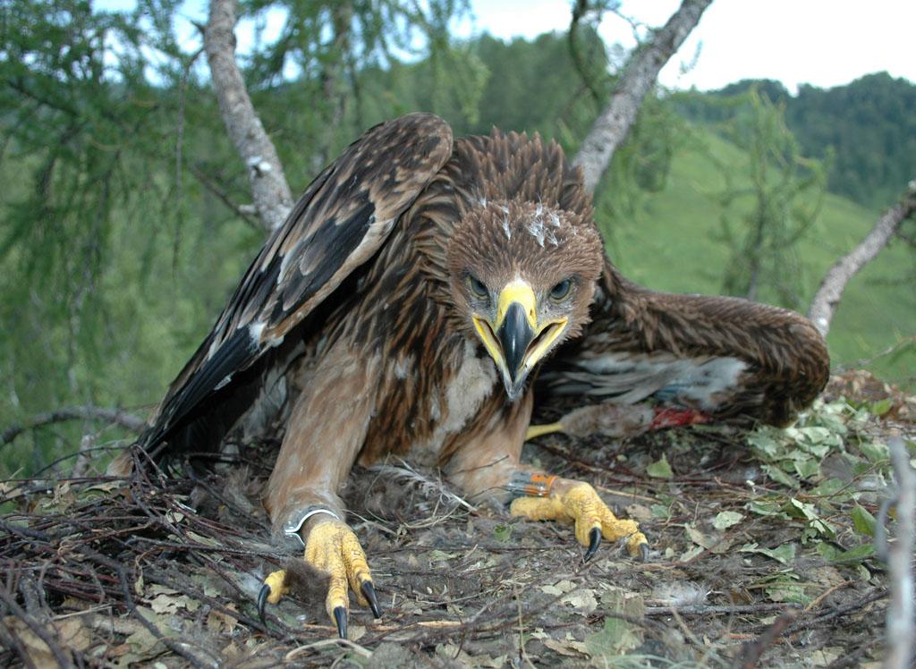 Солнечный орёл по имени Архип. Фото И. Карякина