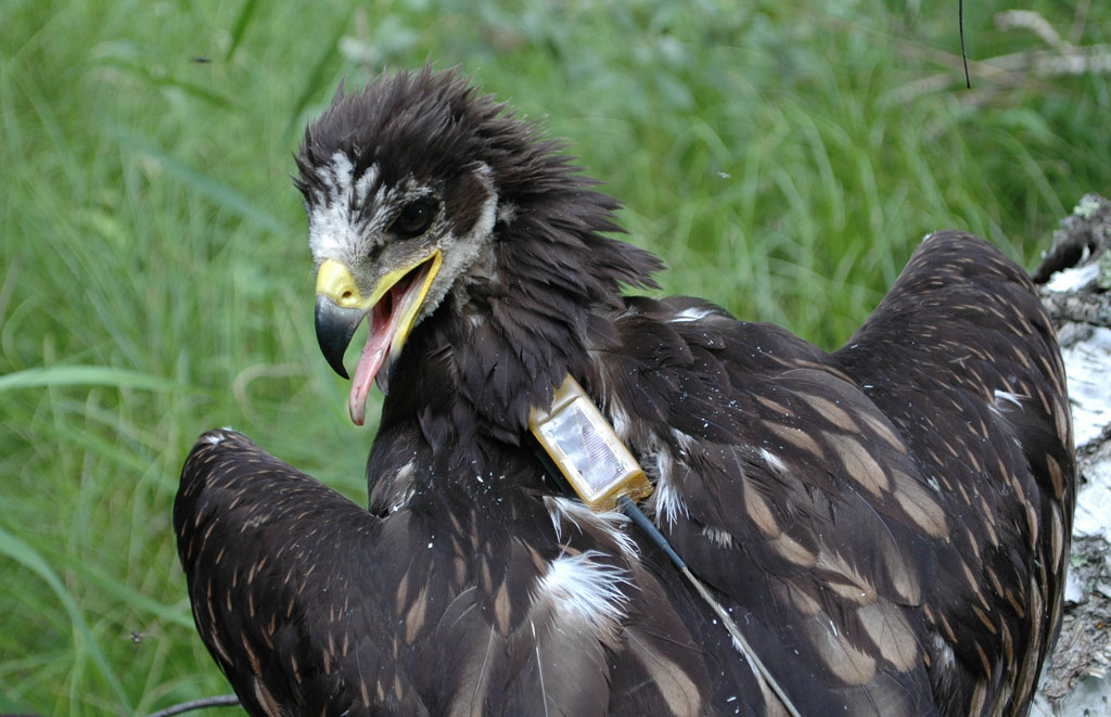 Greater Spotted Eagle named Klangusha. Photo by I. Karyakin