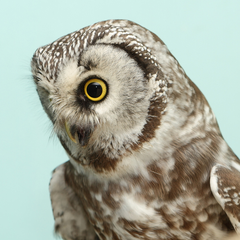 Siich (Boreal Owl in Russian)