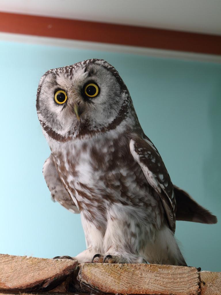 Cute Boreal Owl