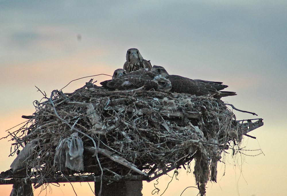 Птенцы балобана в гнезде на платформе. Фото И. Карякина