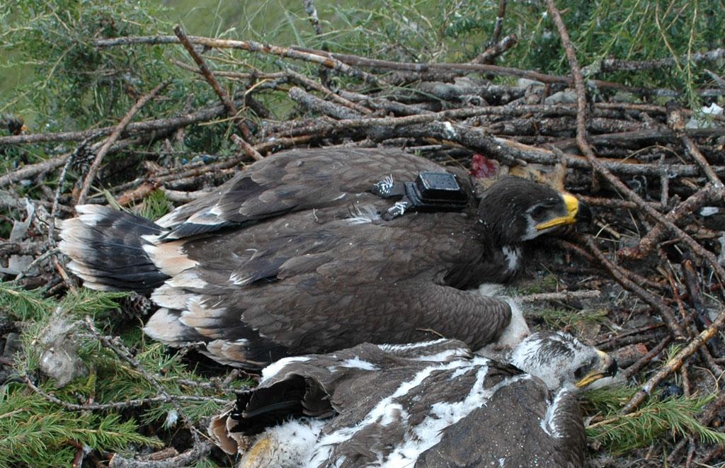 Steppe Eagle named Stepasha. Photo by I. Karyakin