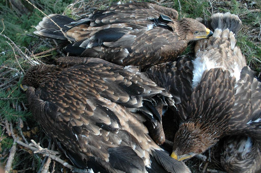 Птенцы солнечного орла в гнезде, один из которых помечен передатчиком, 2014 г. Фото И. Карякина