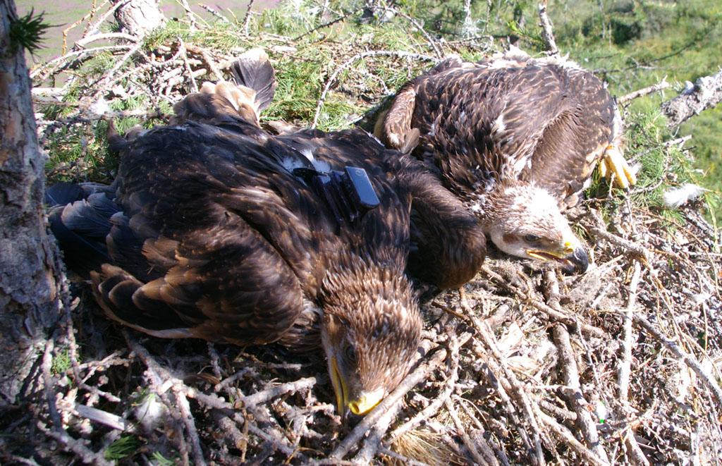 Птенцы солнечного орла в гнезде, один из которых помечен передатчиком, 2014 г. Фото Э. Николенко
