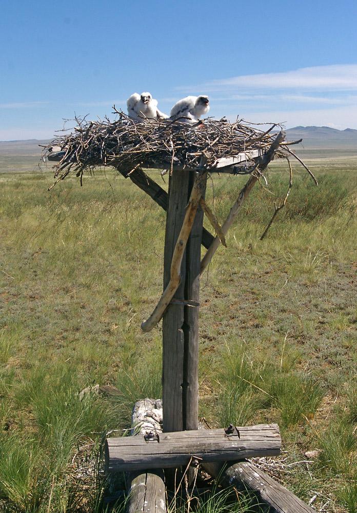 Птенцы балобана в гнезде на платформе. Фото Э. Николенко