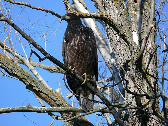 Окольцованный орлан-белохвост на гнездовом участке. Фото Р. Бекмансурова.